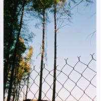 grove_of_bare_trees_-_impact0059.TIF